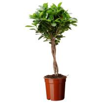 Растение в горшке FICUS MICROCARPA MOCLAME артикуль № 202.270.12 в наличии. Интернет сайт ИКЕА Беларусь. Недорогая доставка и установка.